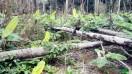 plants banane plantain à vendre