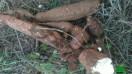 manioc a vendre