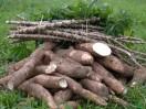manioc à vendre