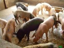 porc à vendre