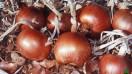 semences d'oignons à vendre