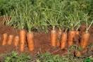 carottes à vendre