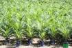 plants de palmiers à vendre