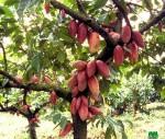 cacaoyère à louer