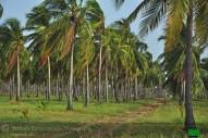 champs de cocotier à vendre
