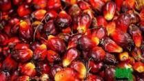 noix de palme à vendre