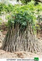 bouture de manioc à vendre