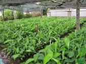 Rejetons banane-plantain à vendre