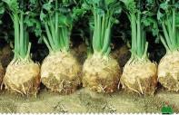 semence du celeri à vendre