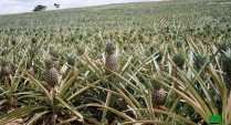 production des ananas