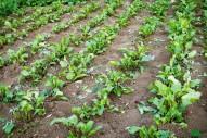 demi hectare de betterave à vendre