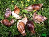 escargots à vendre