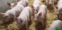 porcs à vendre
