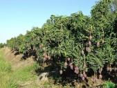 2 hectares de manguiers à vendre